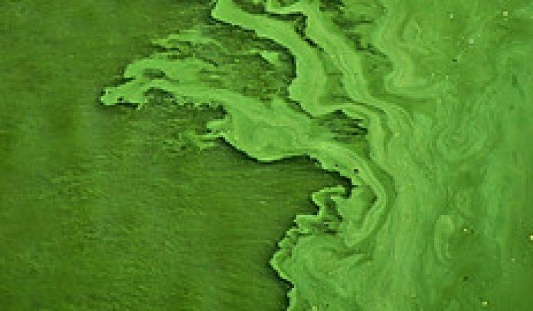 Algae biofuel as a renewable energy source.